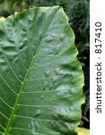 Small photo of Vertical rims of Alocasia alba brisbanensis leaf