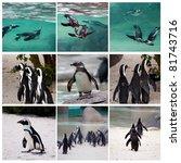 collage of african penguin | Shutterstock . vector #81743716