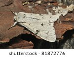 Small photo of The Miller Moth - Acronicta leporina