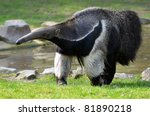 Closeup Of Giant Anteater ...