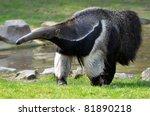 Closeup Of Giant Anteater ...