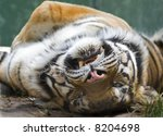 lazing tiger - stock photo