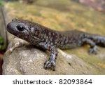 Small photo of Smallmouth Salamander, Ambystoma texanum