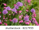 Purple Chive Flowers In The...