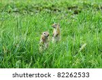 Ground Squirrel. Altai  Russia
