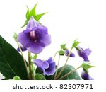 sinningia with violet flowers... | Shutterstock . vector #82307971