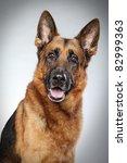 German Shepherd Dog Portrait O...