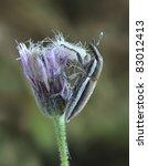 Small photo of Beetle Lixus albomarginatus on a flower