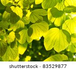 green leaves and sunshine in... | Shutterstock . vector #83529877
