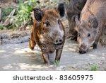 wild pig in a natural habitat   Shutterstock . vector #83605975