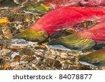 Sockeye Salmon Swimming...