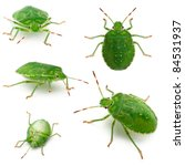 Green Shield Bugs  Palomena...