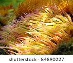 Sea Anemone Tentacles ...