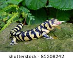 Small photo of Barred Tiger Salamander, Ambystoma mavortium, very large bright yellow and black salamander of North America, eating a mouse