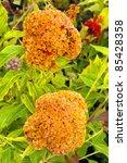 Small photo of Cockscomb Celosia - Celosia Cristata Celosia is a small genus of edible and ornamental plants in the amaranth family, Amaranthaceae.