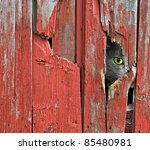 tom cat peeking through old barn siding - stock photo
