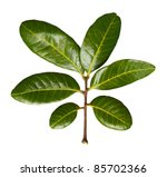 Dimocarpus longan Leaves isolated on white - stock photo