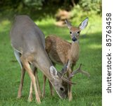 Whitetail Buck With Antlers In...