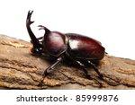 Rhinoceros Beetle On Sawtooth...