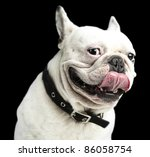 Stock photo french bulldog showing the tongue on a black background 86058754