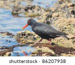 Small photo of Lone African Oystercatcher wading in sea on sea weed covered rock