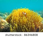 A Clown Anemonefish Sheltering...