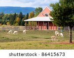 Alpacas Grazing On Grass On An...