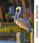 American Pelican Rests On Post...