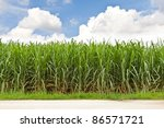 Sugarcane Field In Blue Sky An...