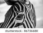 Close Up Portrait Of A Zebra's...
