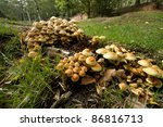 Honey Fungus Growing On Fallen...