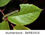 Caterpillar Eating Leaf In The...