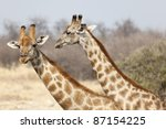 Giraffe In The Etosha National...