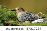 Red Bellied Woodpecker In Pine...