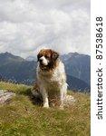 Saint Bernard Dog In The...
