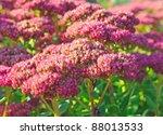 Purple Hylotelephium Or Sedum...
