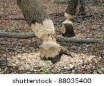 Trees In Woods Gnawed By Beavers