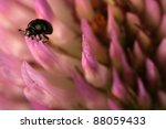 Small Bug On Pink Clover Flower