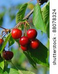 Cherries Parts Of A Branch Of ...