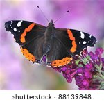 Red Admiral Butterfly  Vanessa...