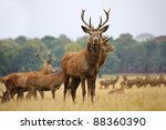 Red Deer Stags And Does Herd I...