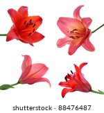 Set Of Lily On White Background