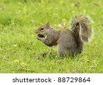 Squirrel In Grass With Nut
