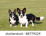 Two welsh corgi cardigan posing - stock photo