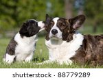 Two cute welsh corgi cardigan posing - stock photo