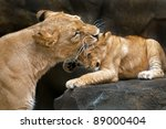 Lioness Mother Gently Biting...