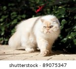Beautiful Himalayan Cat Walkin...