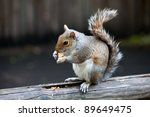 The grey squirrel eating nut in St. James's Park, London, UK - stock photo