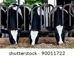 Dairy Cows In A Farm.
