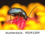 Small photo of Altica birmanensis beetle